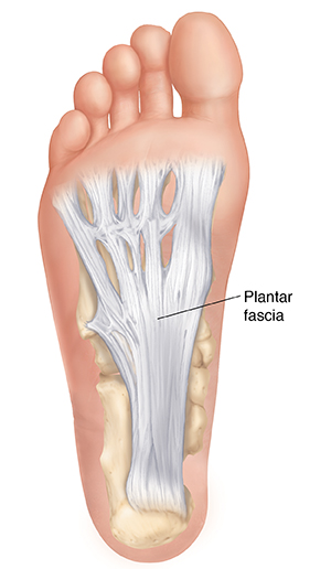 Sole of foot showing plantar fascia.