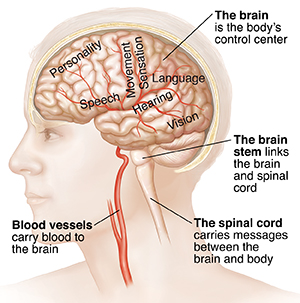 Side view of brain in head with blood vessels.