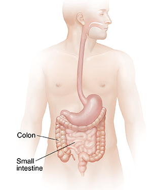 Male body showing digestive system without liver.