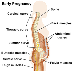 Cutaway view of spine early in pregnancy showing cervical curve, thoracic curve, lumbar surve, buttock muscles, sciatic nerve, thigh muscles, back muscles, abdominal muscles, and pelvic muscles.