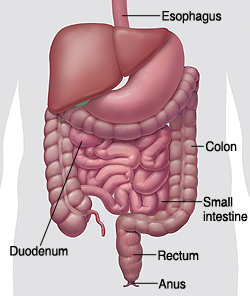 Outline of human abdomen showing digestive system and pointing out esophagus, duodenum, small intestine, colon, rectum, and anus.