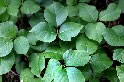 Poison Ivy Plant (Example 1)