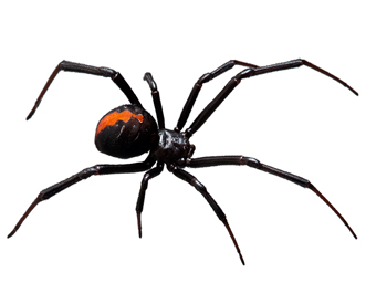 Widow spider (Black widow)