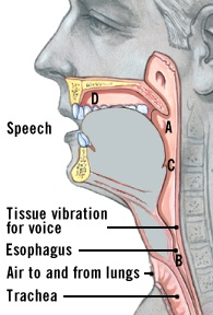 Illustration of the airways and voice box