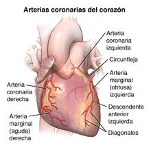 Imagen exterior del corazón y las arterias coronarias