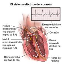 Corte transversal del corazón que muestra las vías de conducción eléctrica y el ritmo normal del corazón